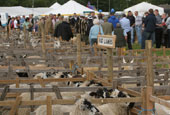 Reeth Show 2010 - Sheep
