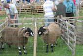 Reeth Show 2010 - Dalesbred sheep